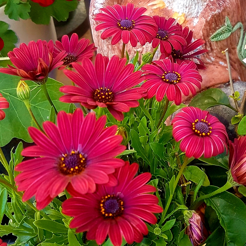 Picture of Live African Daisy aka Osteospermum Red Plant Fit 1GAL Pot