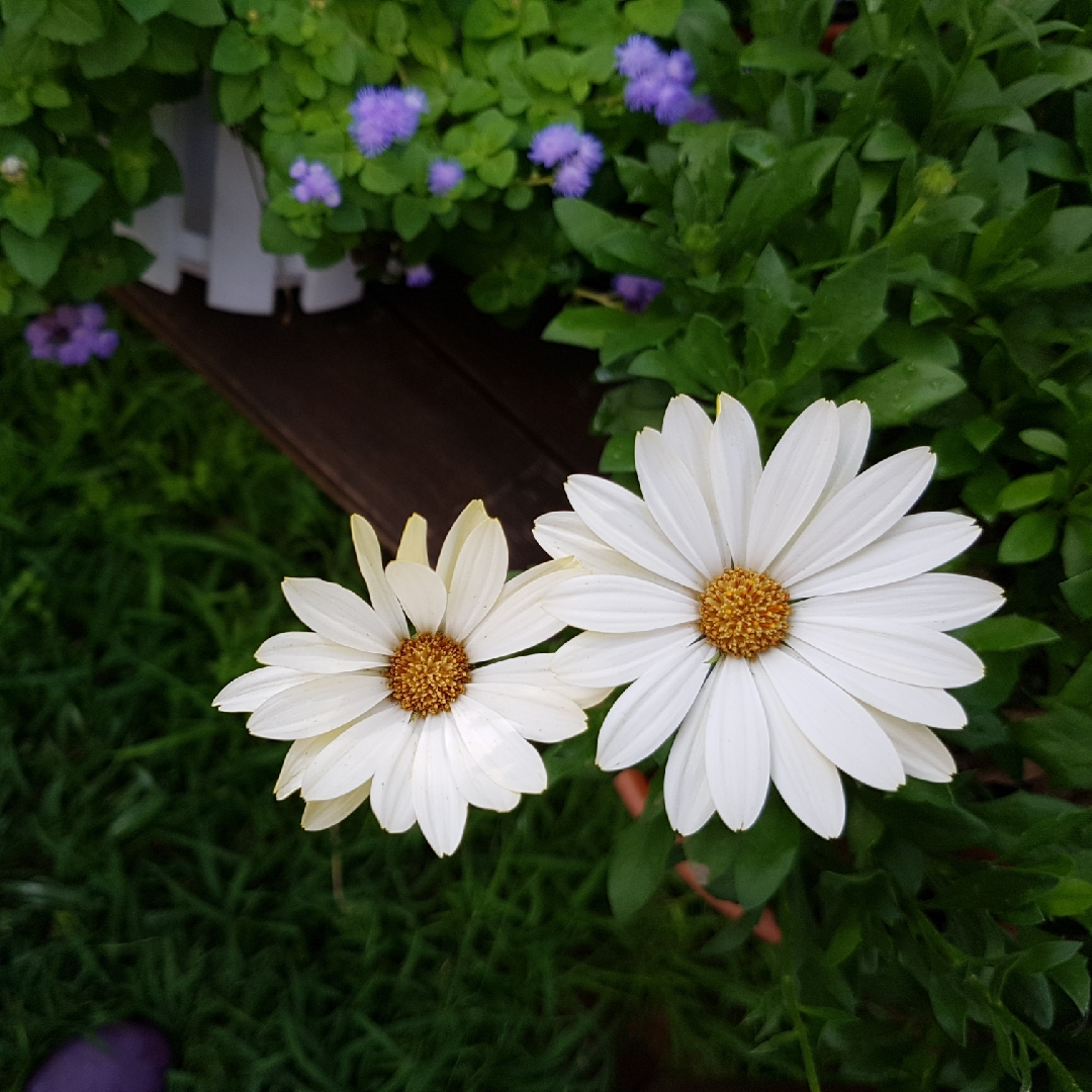 Osteospermum White Lightning African Daisy White Lightning In