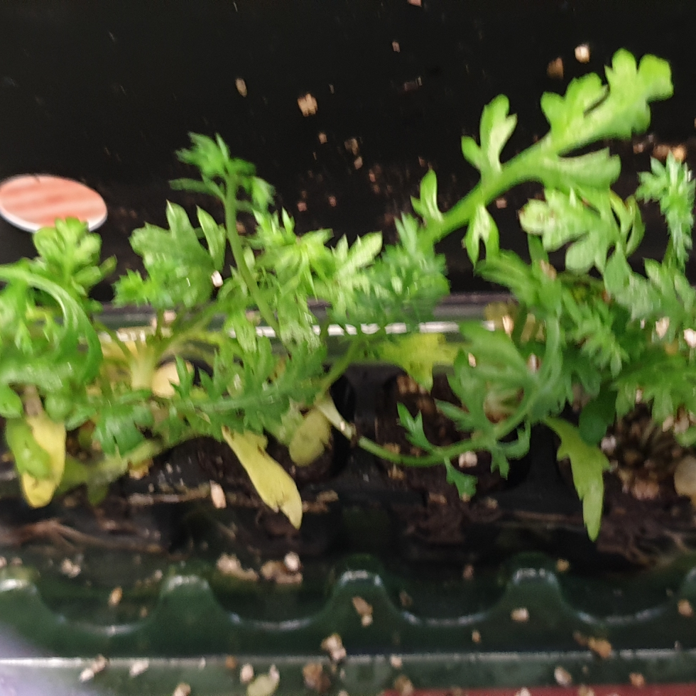 Achillea Millefolium Cassis Achillea Cassis In Gardentags