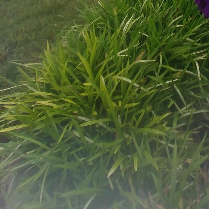 Liriope Gigantea Syn Liriope Muscari Evergreen Giant Liriope