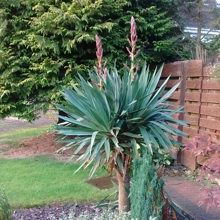 Cordyline Australis Cabbage Tree In Gardentags Plant Encyclopedia