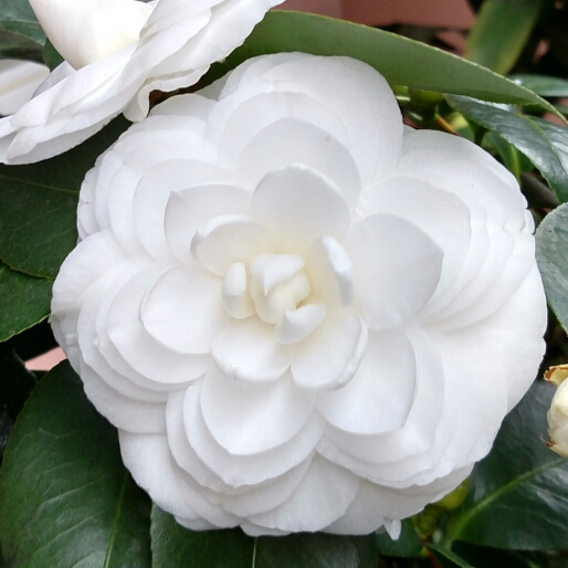 Camellia Japonica White By The Gate Camellia White By The Gate