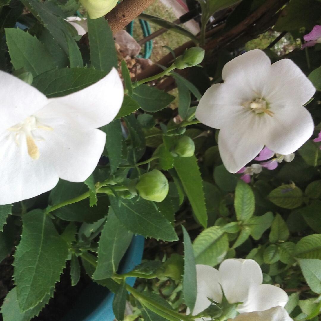 Astra autumn: description, planting and care