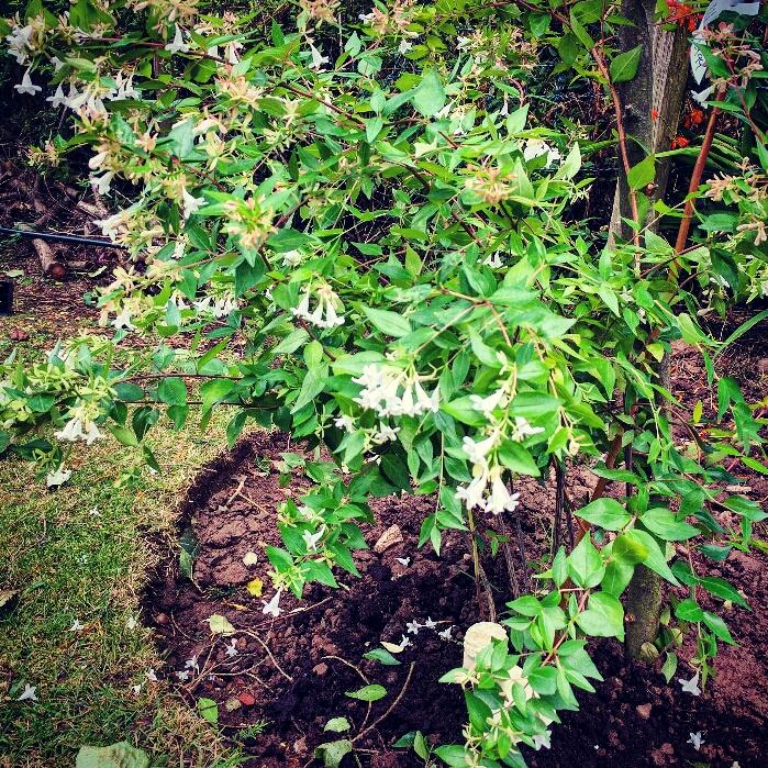 Abelia X Grandiflora Francis Mason Abelia Francis Mason In