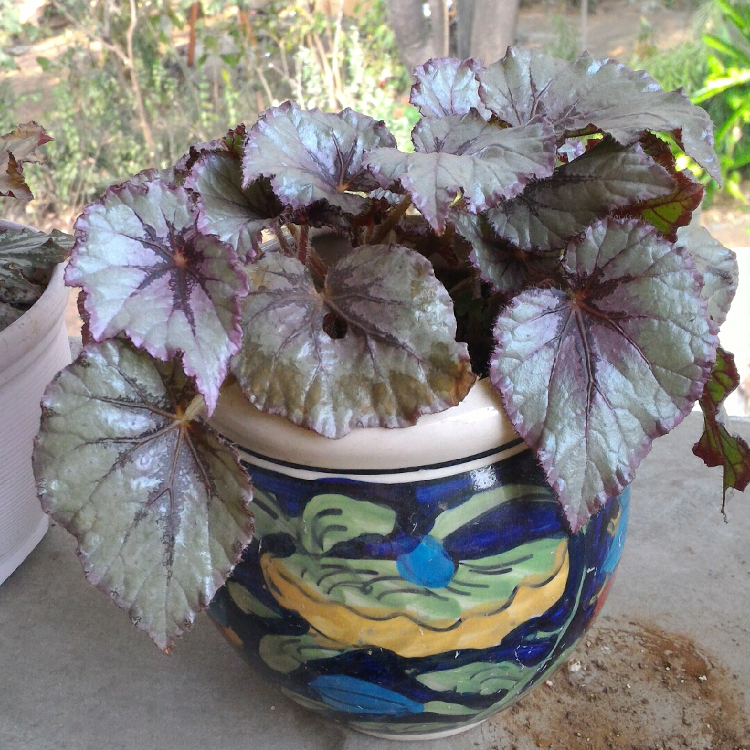 Begonia Rex Cultorum Group Fairy Syn Begonia Rex Fairy Rex