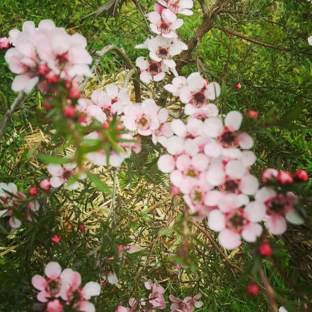Leptospermum Scoparium Pink Cascade New Zealand Tea Tree Pink