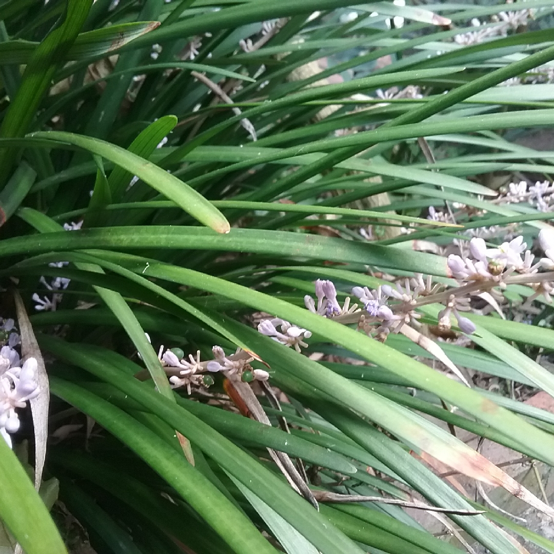 Liriope Muscari Evergreen Giant Lilyturf Evergreen Giant In
