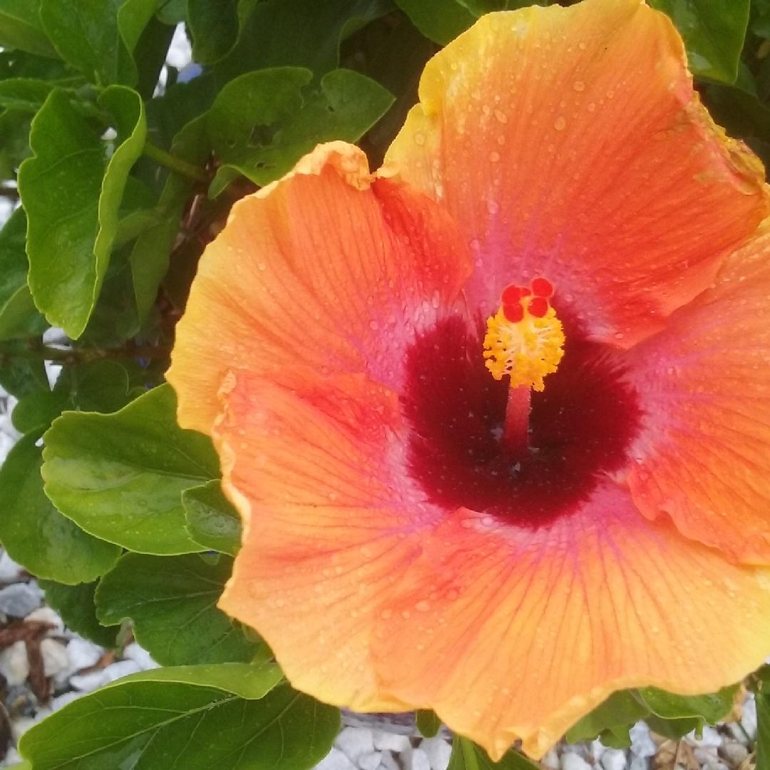 Hibiscus rosa sinensis hawaiian sunset hibiscus hawaiian sunset hibiscus rosa sinensis hawaiian sunset hibiscus hawaiian sunset in gardentags plant encyclopedia izmirmasajfo