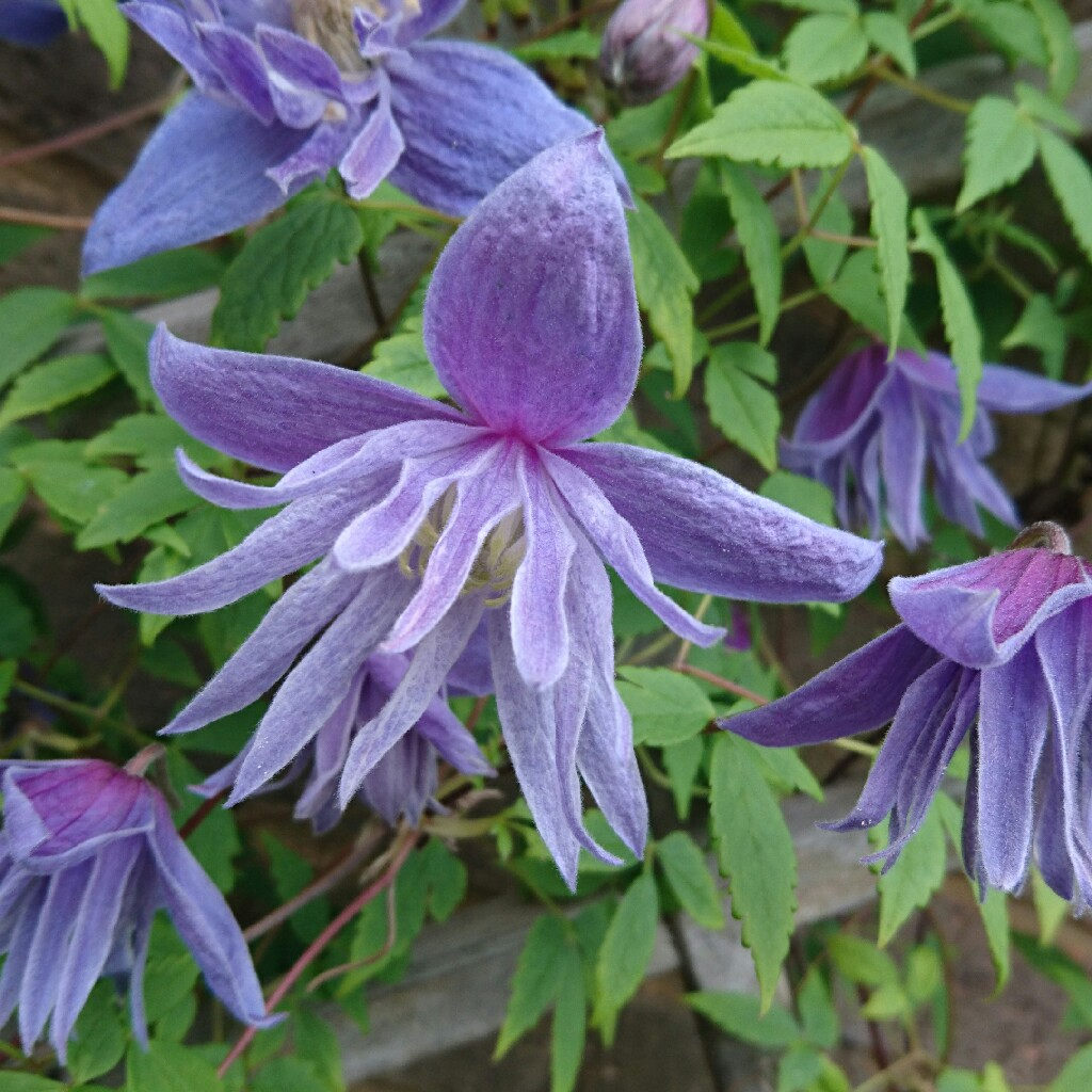 clematis alpina 39 blue dancer 39 clematis 39 blue dancer 39 in gardentags plant encyclopedia. Black Bedroom Furniture Sets. Home Design Ideas