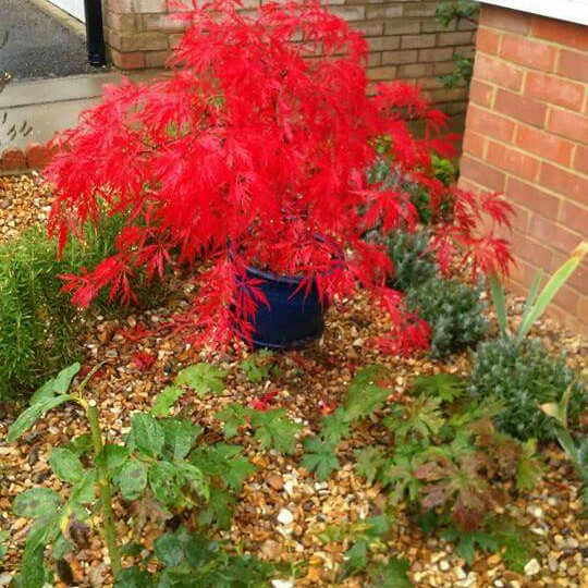 Acer Palmatum Dissectum Crimson Queen Cut Leaved Japanese Maple