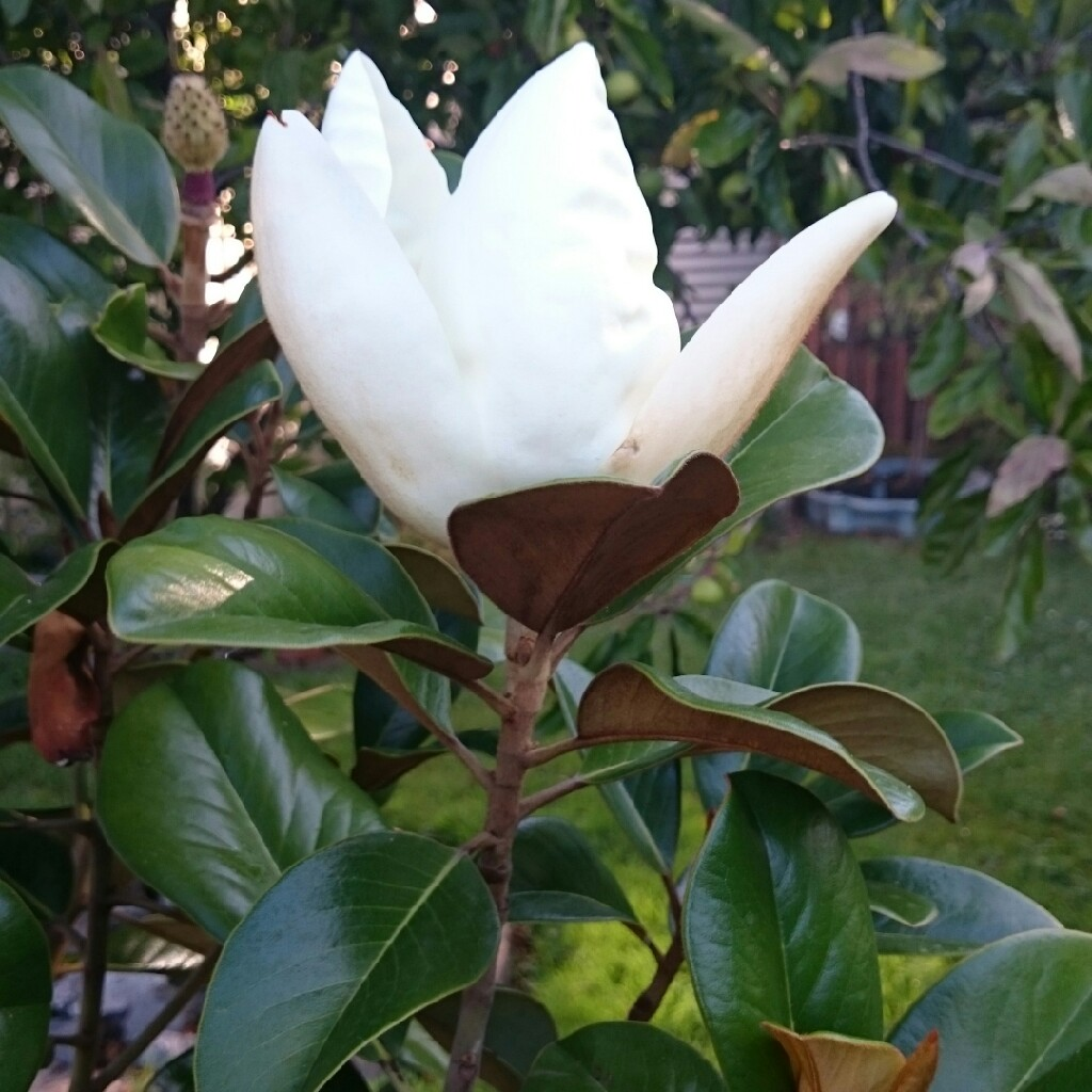 Magnolia Grandiflora Teddy Bear Magnolia Teddy Bear In