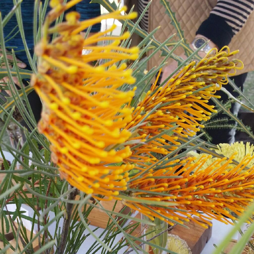 Grevillea Junciflora Honeysuckle Grevillea In Gardentags Plant