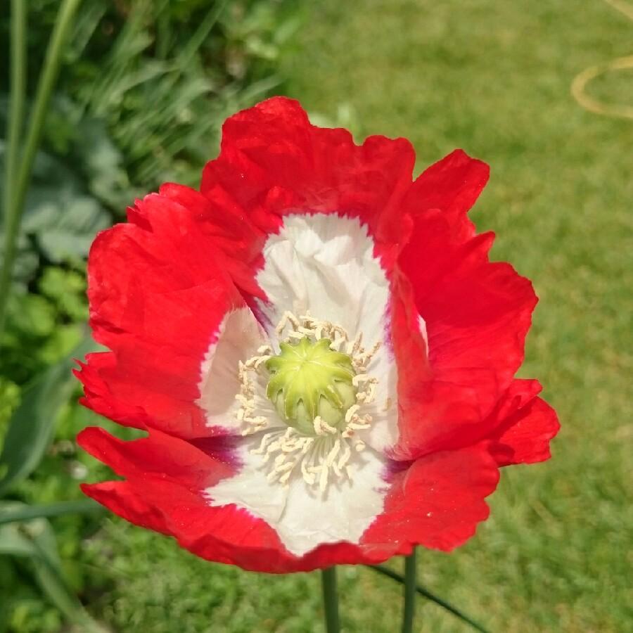 Papaver Somniferum Victoria Cross Opium Poppy Victoria Cross In