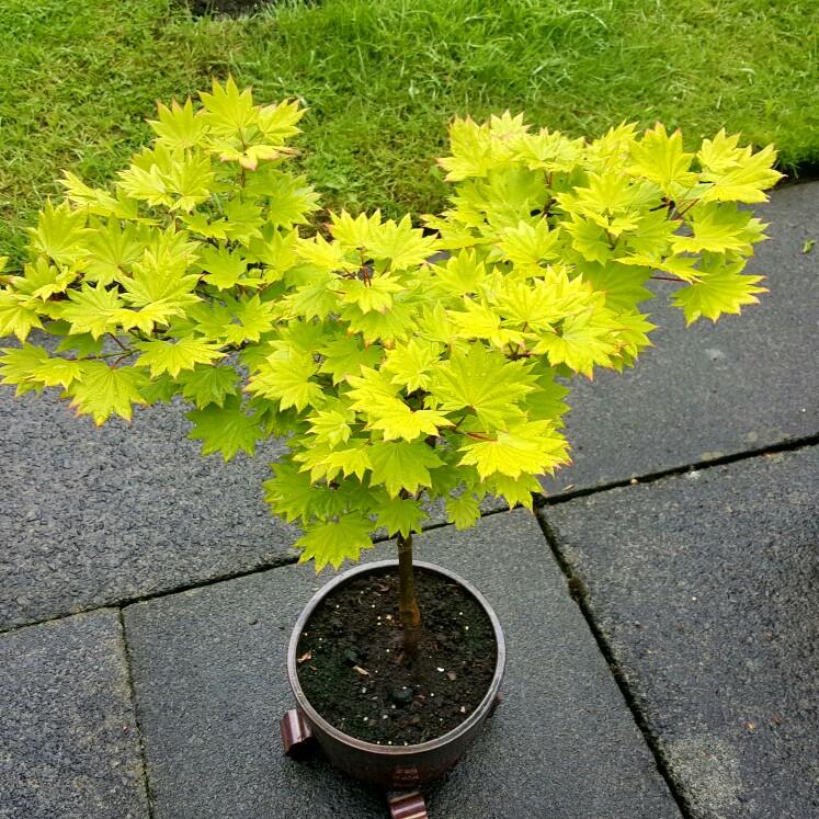 Acer Shirasawanum Aureum Golden Full Moon Acer Uploaded By At Muffin1