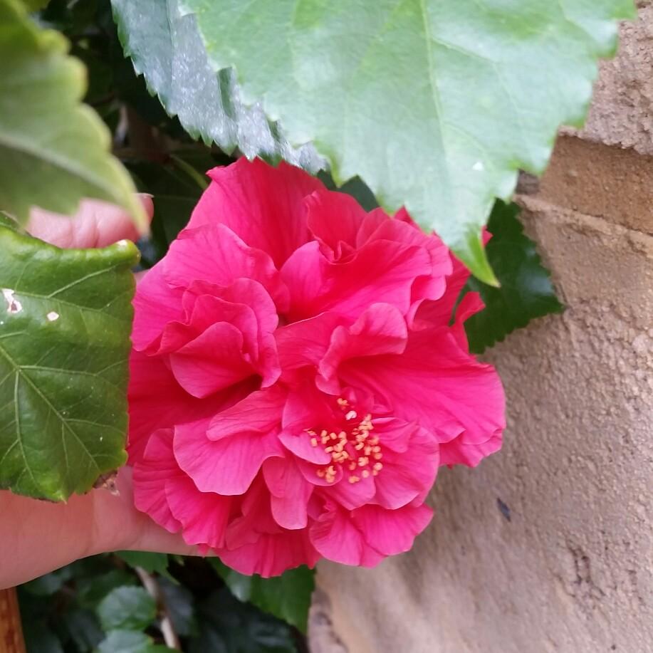 Hibiscus rosa sinensis sabrina hibiscus sabrina in gardentags hibiscus rosa sinensis sabrina hibiscus sabrina in gardentags plant encyclopedia izmirmasajfo