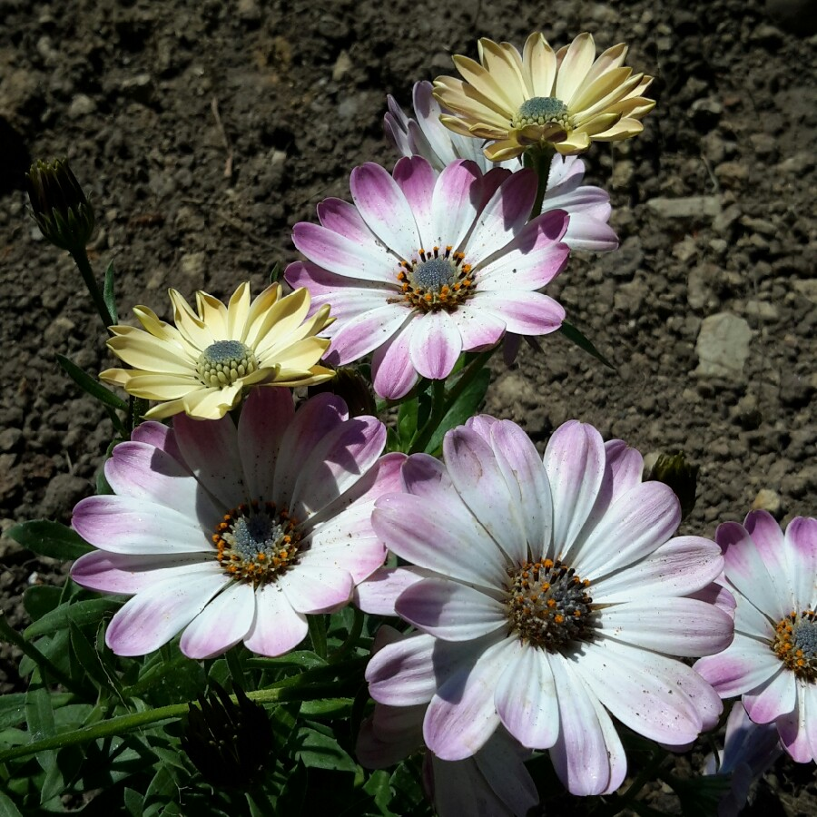 Osteospermum White Pink Blush African Daisy White Pink Blush In